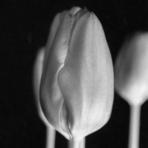 tulip-Edit.jpg