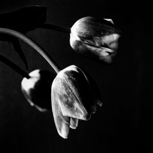 tulips-hanging-Edit-Edit-Edit.jpg